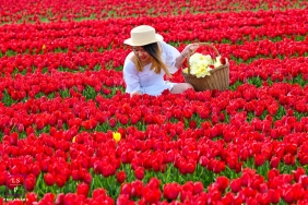 Utrecht young woman poses for a Lifestyle Portrait Session in a tulip field