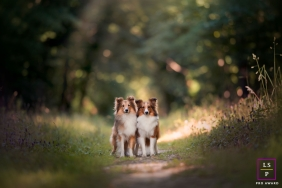 Auvergne-Rhone-Alpes outdoor, on-location portrait of a two shetland dogs