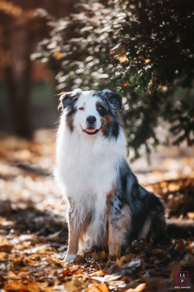 Ain pet lifestyle portrait of a shepherd pet dog out in nature