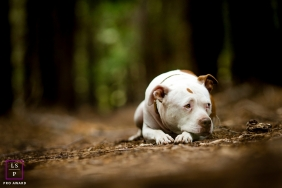 California on-location, outdoor Lifestyle Pet Portrait of a dog laying on the ground in the forest