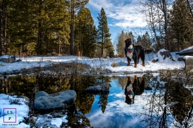 Lake Tahoe on-location, outdoor Lifestyle Pet Portrait of a dog with her reflection show in the pond