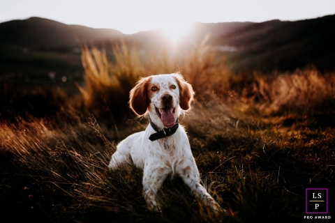 Auvergne-Rhone-Alpes on-location, outdoor pet posed for a lifestyle image of Setter dog under the sunset